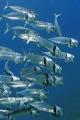 The big feeding  of Bigmouth  or Indian mackerel
