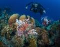 Lion Fish   Bonaire
