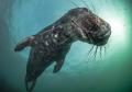 Playful Seal - Farne Islands UK