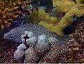 Whitemouth moray  Seychelles  Olympus TG1