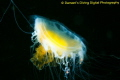 Fried Egg Jellyfish hanging in the black depths of the Pacific Northwest.
