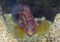Corkwing wrasse. Aughrus.