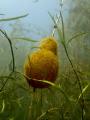 Freshwater Bryozoan, Welland Scuba Park