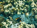Anemone fish hanging out around his home.
