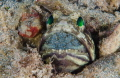 Male Jawfish (The Patriarch)