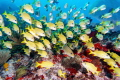 School of Blue Striped Grunts in Manchones Reef, Isla Mujeres, Mexico