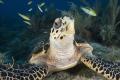 Endangered Sea Turtle feeding on Molasses Reef, Key Largo, Florida