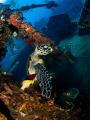 Levity  Hawksbill Turtle - Eretmochelys imbricata  Liberty Wreak, Bali
