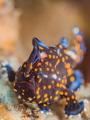S P O T T Y Juvenile Painted frogfish  (Antennarius pictus)