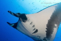 Mantaray with blue, Isla Socorro Mexico