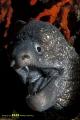The Mediterranean moray - Muraena helena (sometimes also called Roman eel)