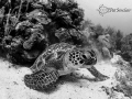 When your strobes fail at 58fsw, make the best of your situation and convert to B&W.  This turtle was checking out his reflection in my dome port.