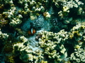 Anemone fish poking his head out of his home.