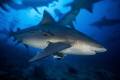 A Carcharhinus leucas in motion at Fiji's famous Shark Dive