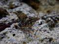 common shrimp