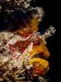 The Horror  Frogfish - Antennarius maculatus  Chaloklum, Thailand