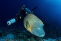 Diver and Napoleon Wrasse