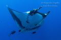 Amazing Mantaray with jacks, Socorro Island  Mexico