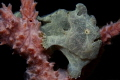 Juvenile Giant Frogfish perched in a sponge. Without the aid of the strobe, they were the exact same color.