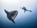 The Longing  Southern Ocean Sunfish - Mola ramsayi  Gilli Mimpang, Bali, Indonisia