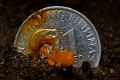 Juvenile painted frogfish in front of a Philippines 1 peso coin