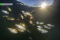 Rudd fish in the sunset