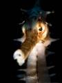 G H O S T L Y Thorny Seahorse (Hippocampus histrix)