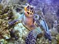 turtle seven mile beach
