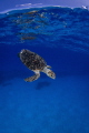 Back to Work  After a small breath up on the surface this Hawksbill is ready to dive.