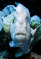 White giant Frogfish (Antennarus commerson) on bleached coral waiting for it's prey.