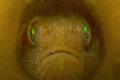 Yellow Coral Goby (Paragobiodon xanthosoma)