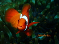 Clown fish with Tongue parasite.  Lembeh Indonesia