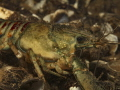 Orconectes limosus / a species of crayfish in the family Cambridge, photographed in the lake of Zug in Central Switzerland.