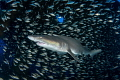 'Center of the Universe' - A sand tiger shark is surrounded by bait fish inside of the wreck of the Aeolus off the coast of North Carolina