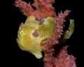 painted frogfish - dauin, philippines