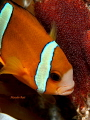 Clown fish guarding her eggs.