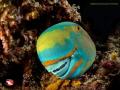 Parrot fish Nikon D800E, 10,5mm , minidom widemacro Two strobo Dharanvadhoo . Maldives