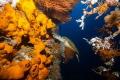 Hawksbill turtle inside the U.S.A.T Liberty Wreck