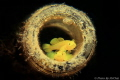 Sweet couple Yellow coral goby  Lubricogobius exiguus (tungku abdul rahman park) Canon T4I meikon housing single Strobe ys03 flipsnoot Macro filter+13 Setting:Shutter 200 F8 ISO100