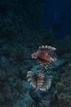 Lionfish  Pterois miles  swimming suspended at midwater.