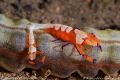 Emperor shrimp couple  the bigger female carrying eggs