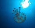 jelyfish