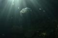 Freshwater jellyfish  V kleky lake