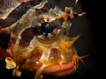 Juvenile scorpion fish
