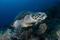 Hawksbill Turtle Feeding Time