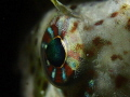 EYE OF BLENNY