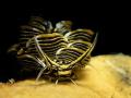 Nudibranch : Cyerce nigra.
