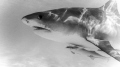 Beautiful 12ft female tiger shark. Cautious and curious.