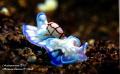 Bubble Shell Nudi - Micromelo Undatus