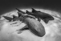 'Another Planet' - Otherworldly feel to this pair of nurse sharks.